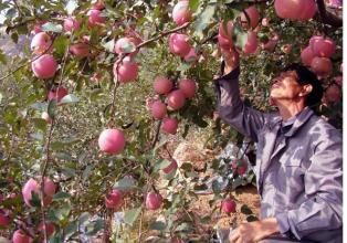 农技 | 苹果树冬剪:一定要注意这四个误区!