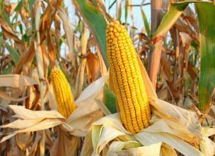 国内玉米价格跌跌不休!到底原因何在???