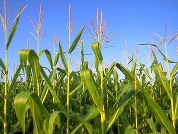 农业部:明年玉米再减1000万亩