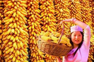 玉米收购价格持续下跌,预计将迎来低点,抓紧机会卖粮!