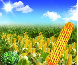 2017年玉米种植情况将更加坎坷艰辛?
