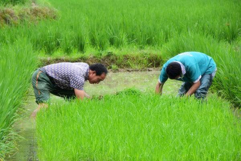 三农日报|11种农村产权可进行流转;研究发现:水稻增产有新途径