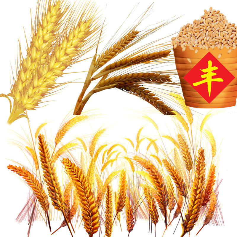 小麦要涨了?新小麦开秤价或比去年高!