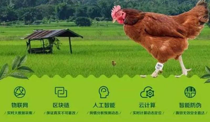 """可以吃的""""电子鸡"""",众安与顺丰用区块链养鸡,消费者可领养"""