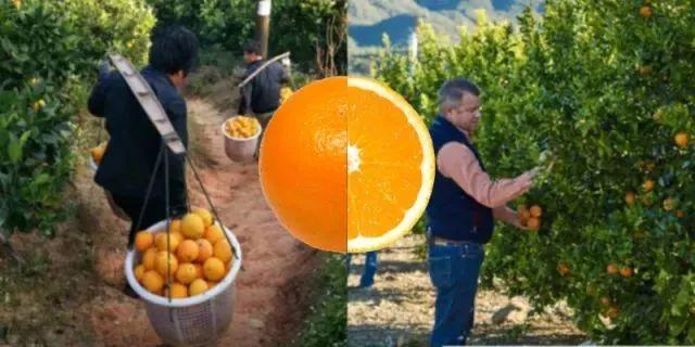 【实操干货】三个爆款橙子,看懂农产品电商未来机会