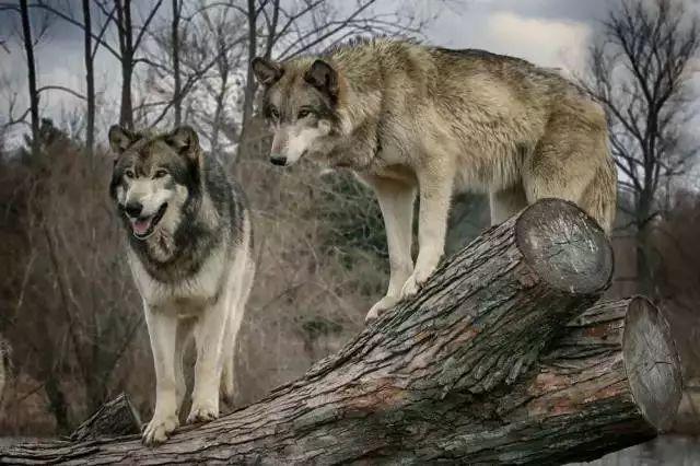 【夜读】狼道、狼团队值得学的智谋!