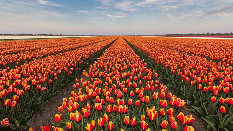 解码|荷兰农业闻名世界的原因,中国农业该如何赶超?