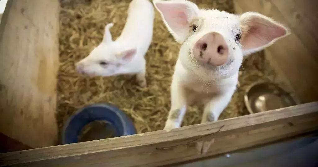 抢滩智慧农业:地要怎么种?猪能怎么养?