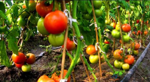 有机农业就是不用肥料、不打药吗?